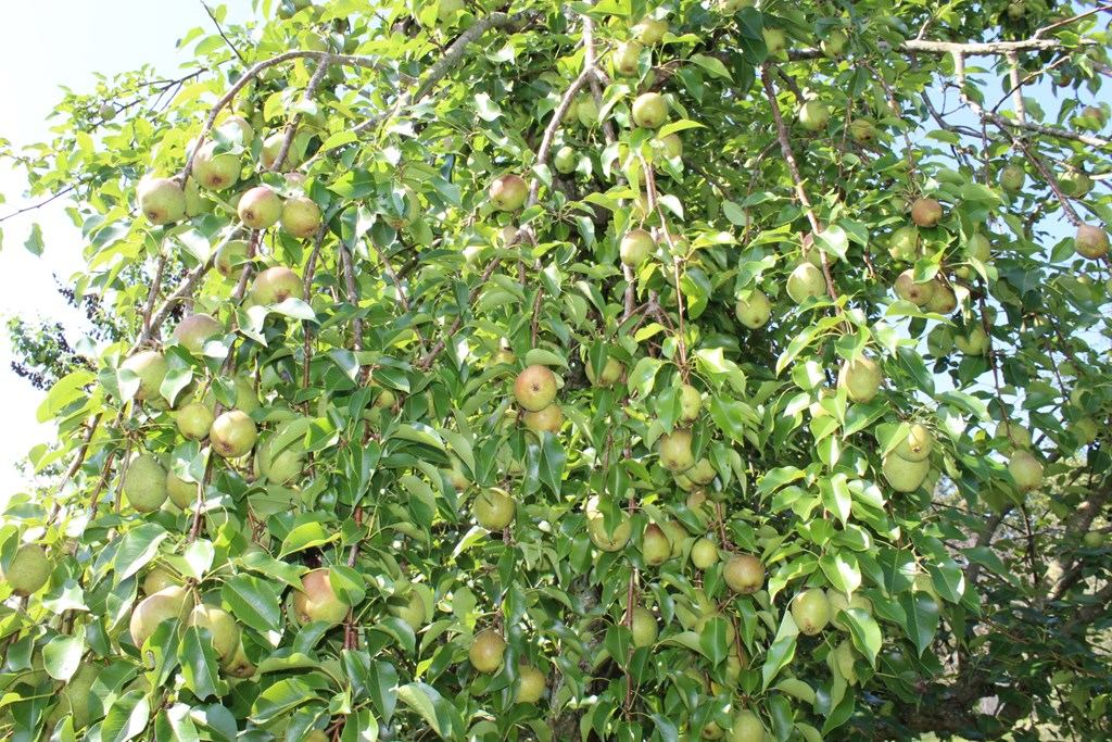 Several varieties of apples and pears. The trees a